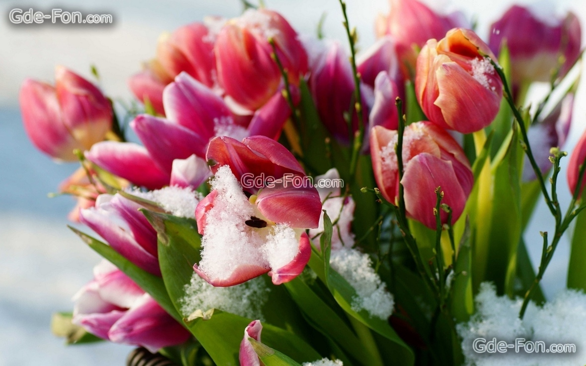 371939 sneg cvety tyulpany vesna 1920x1200  www.GdeFon.ru