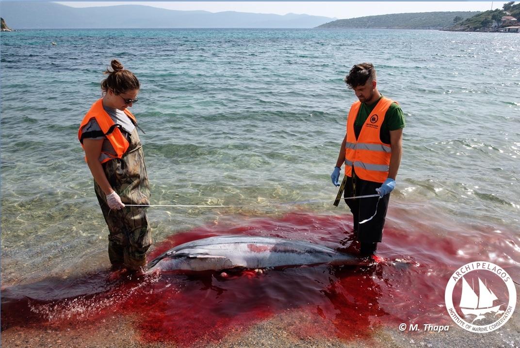 Killed Dolphin Archipelagos2