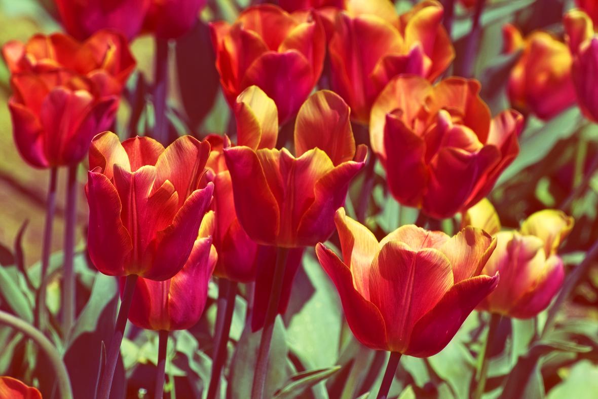 tulips zy vq1Kd