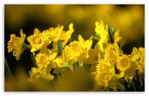 yellow daffodils 2-t2