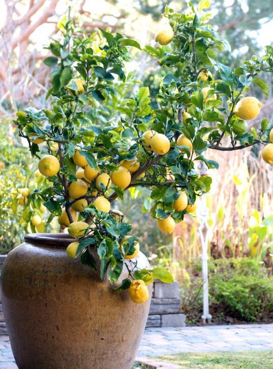 lemon-tree-container-11-550x830