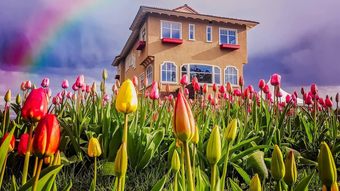Tulips-Rainbow-by-Tom-Tyson