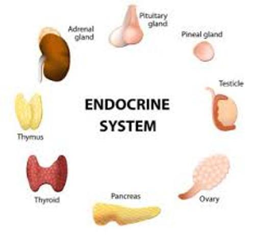 The-Endocrine-System
