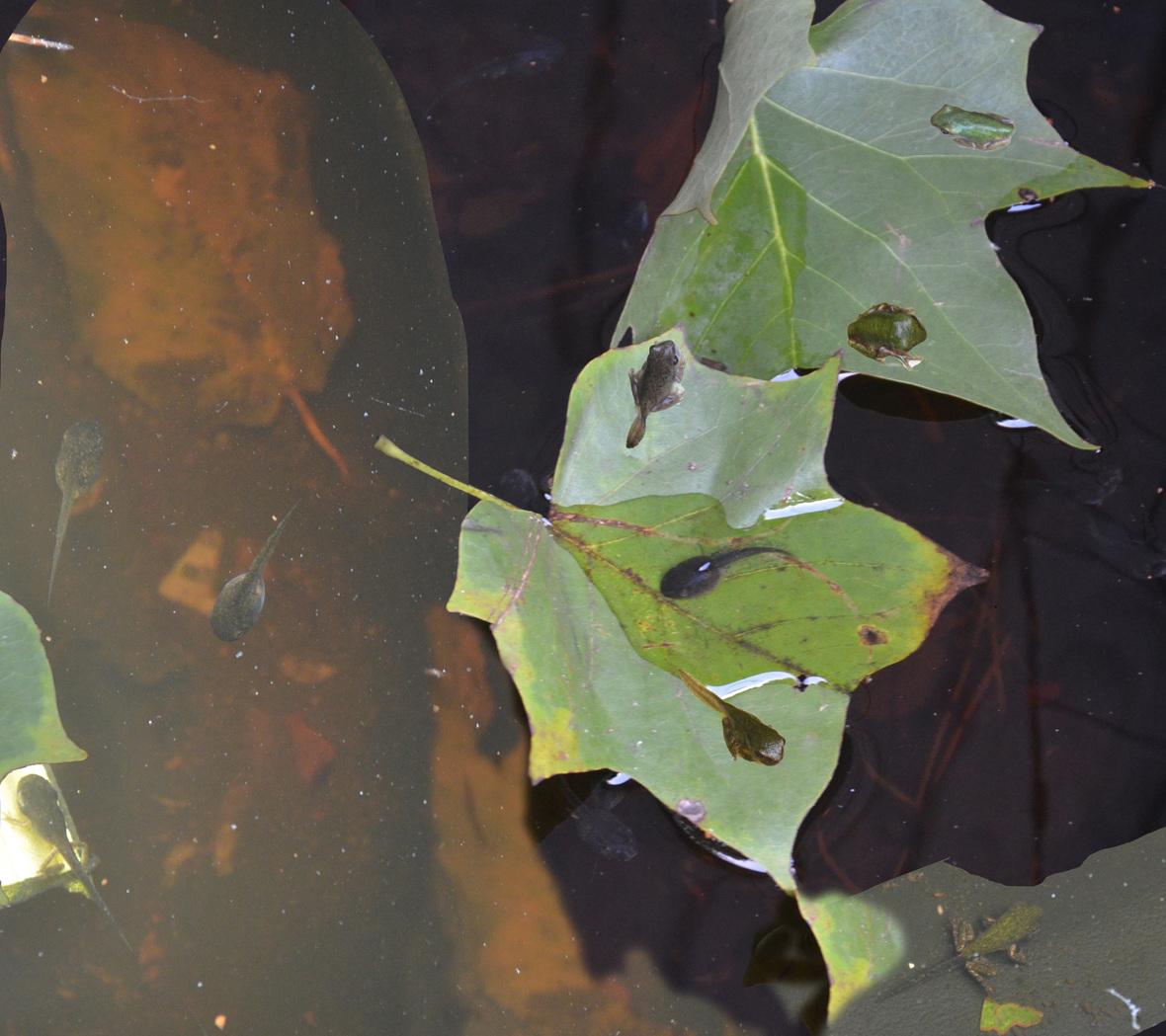 peeper tadpoles