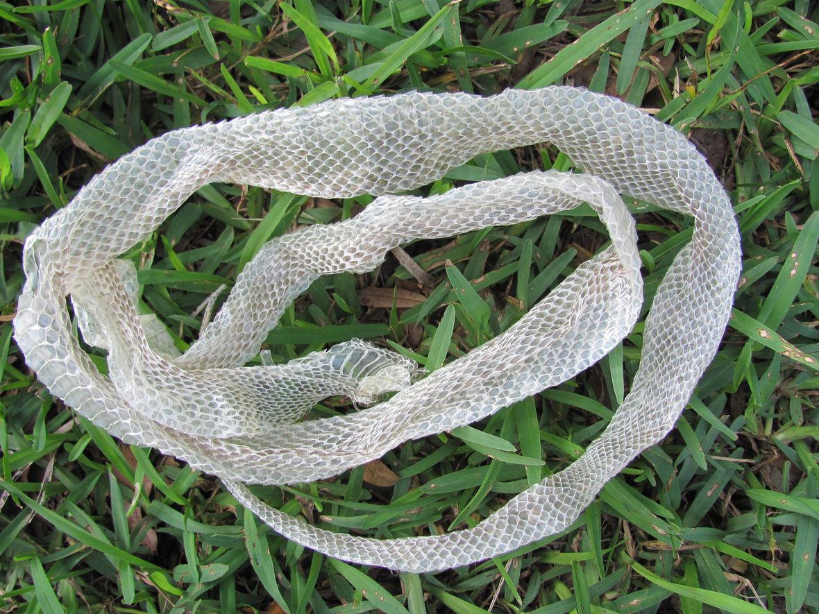 SnakeSheddingSkin