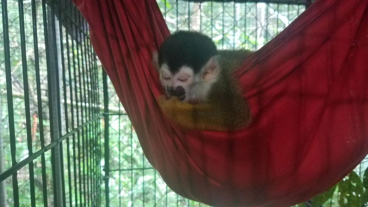 Baby squirrel monkey asleep in hammock while sucking thumb