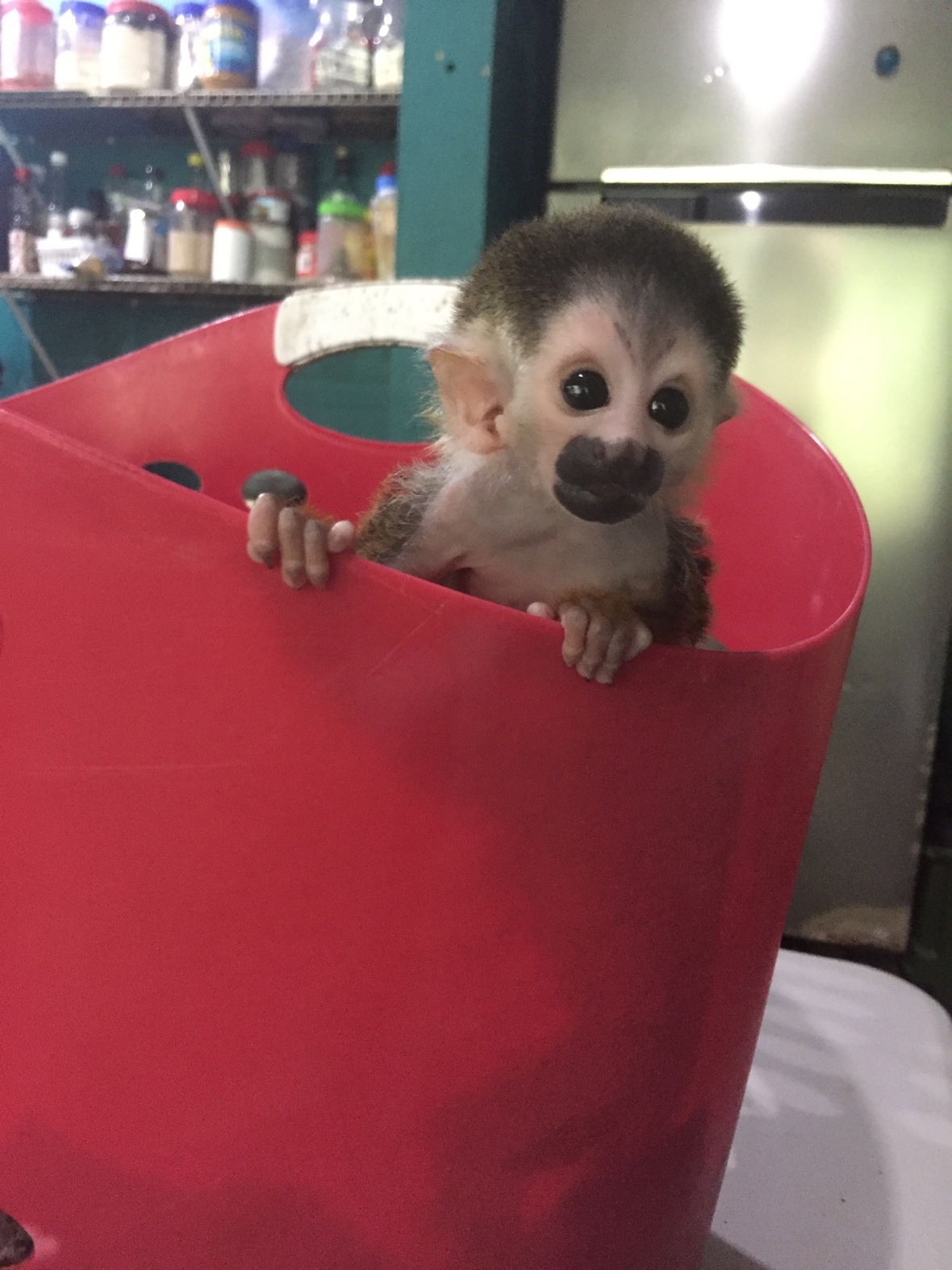 Baby squirrel monkey sticking head out of laundry basket