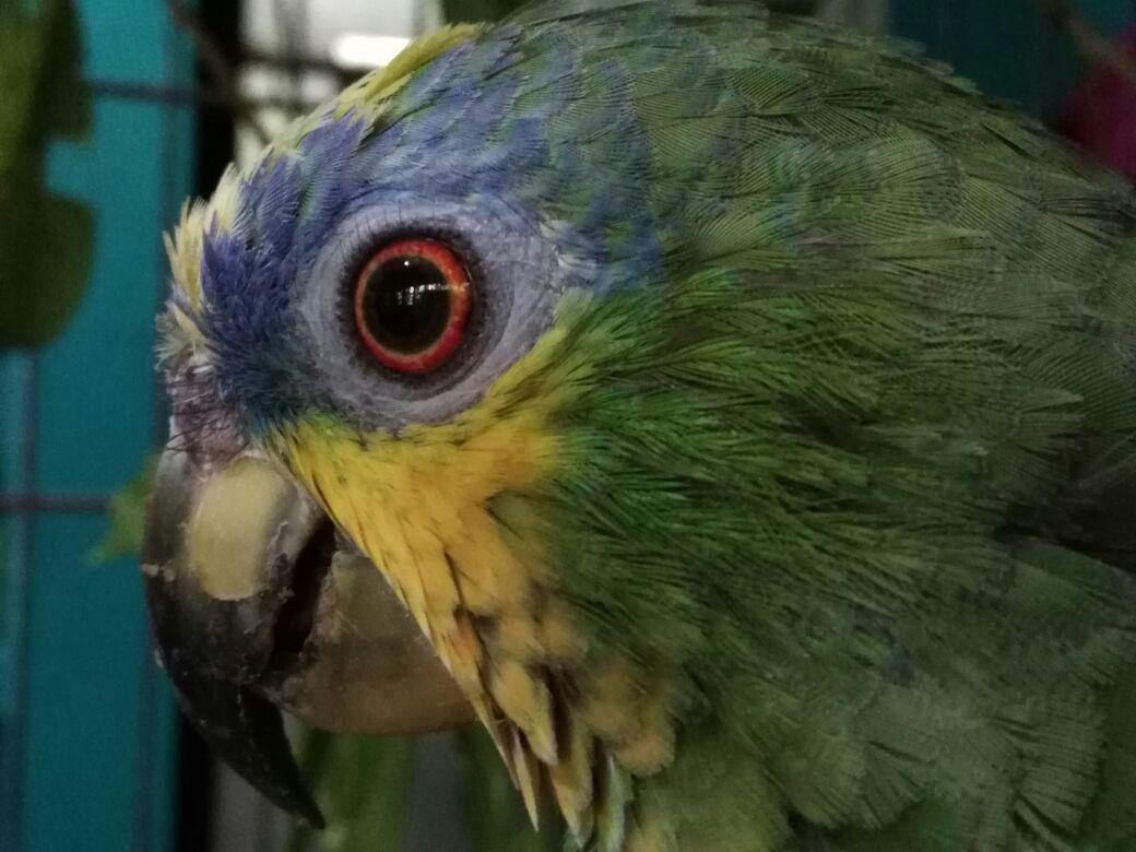 Close-up head shot of Channah the parrot