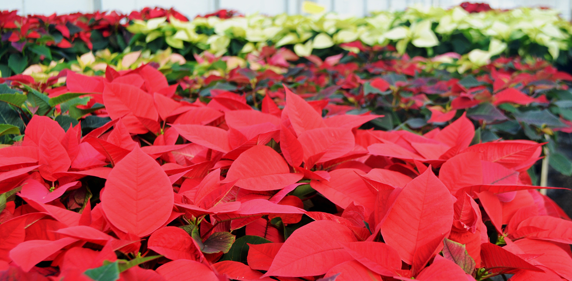 poinsettias in greenhouse november 2020 B reduced