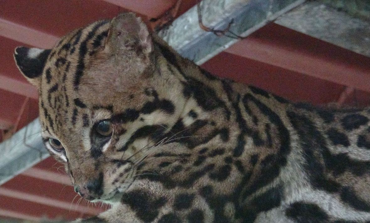MARGAY READY FOR RELEASE.