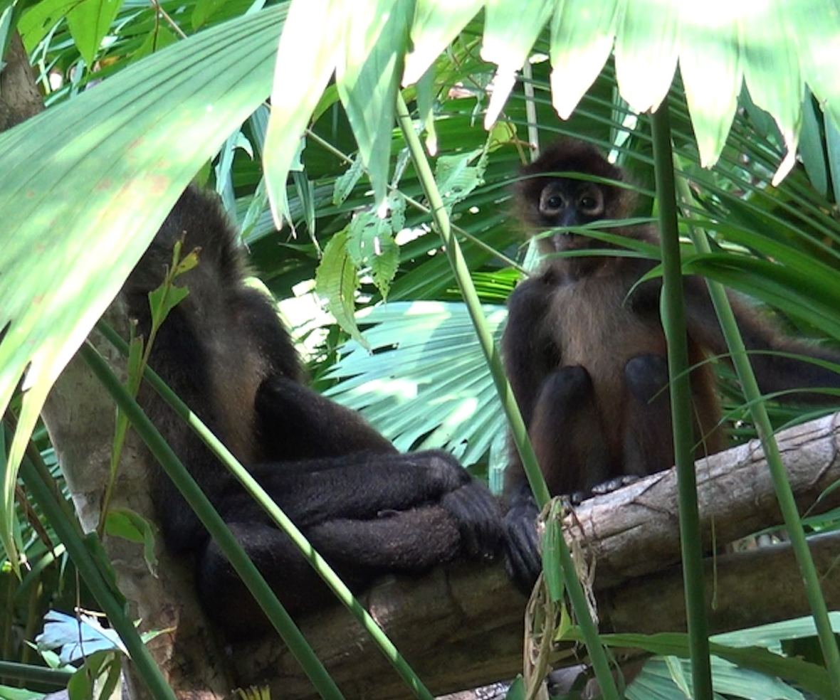Rosie and Ripley the spider monkeys hanging out in the branches of the forest