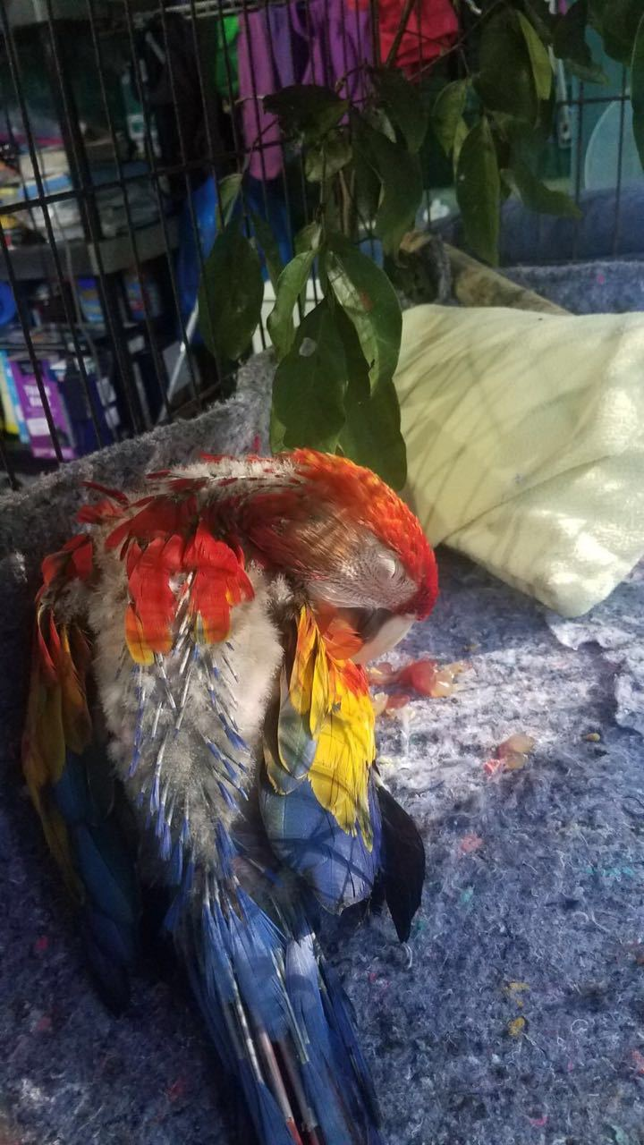 Scarlet macaw sleeping and preening new feathers in the sun