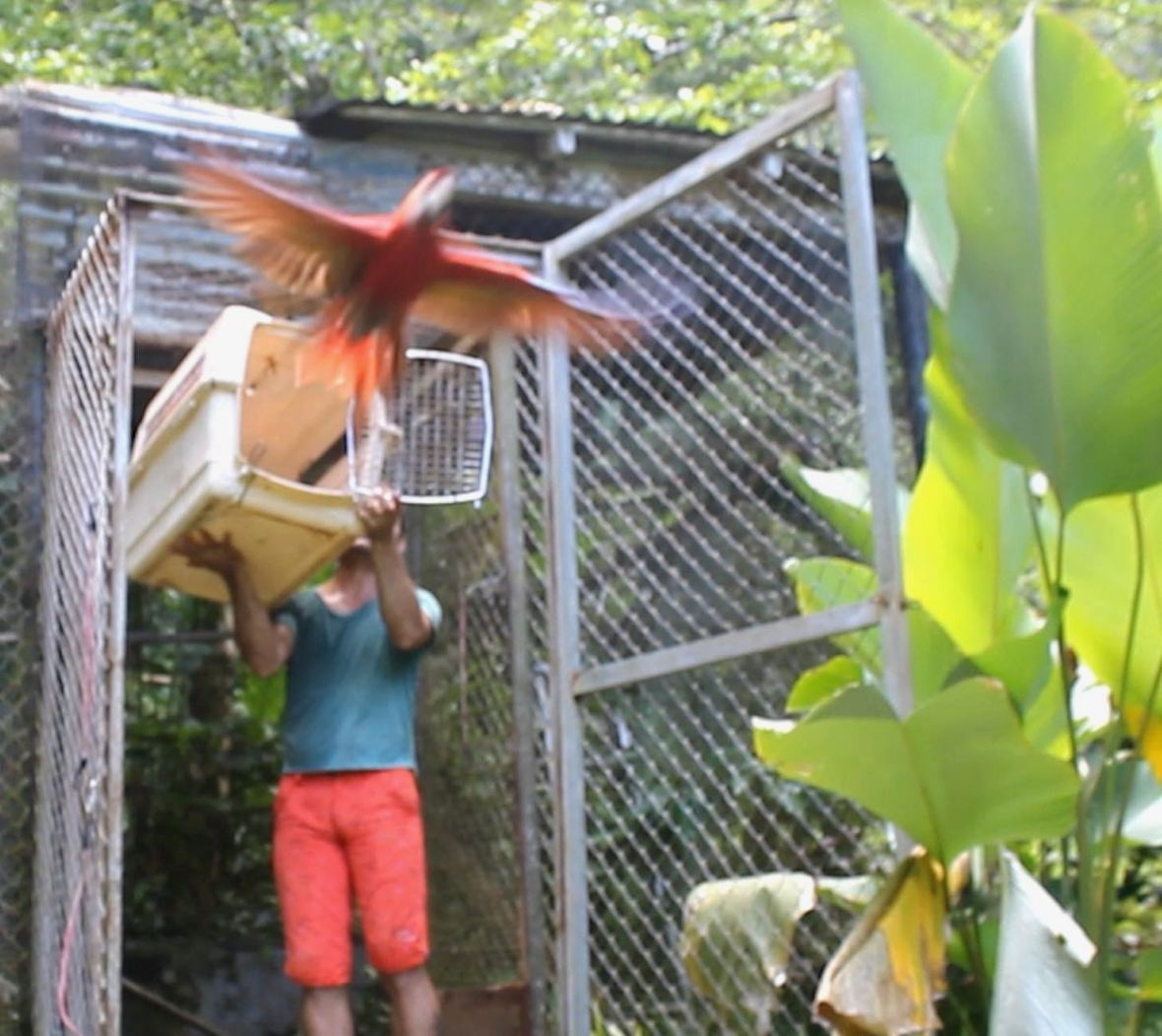 Scarlet macaw flying free from its carrier in its cage