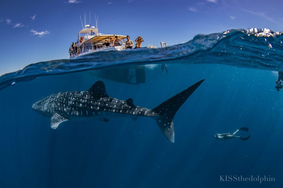 Exmouth whalesharks