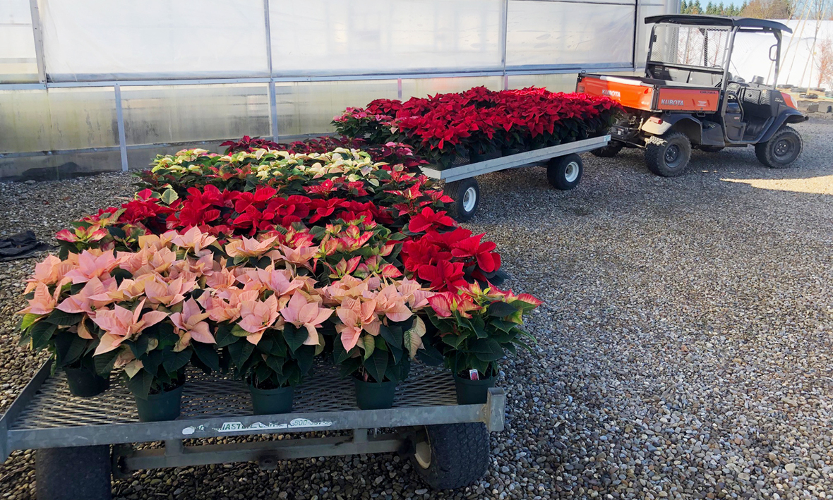 bringing poinsettias up greenhouse 2020 B cropped