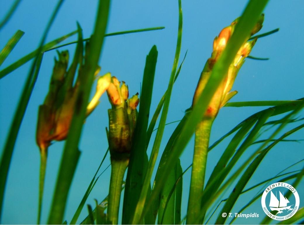 posidonia flower