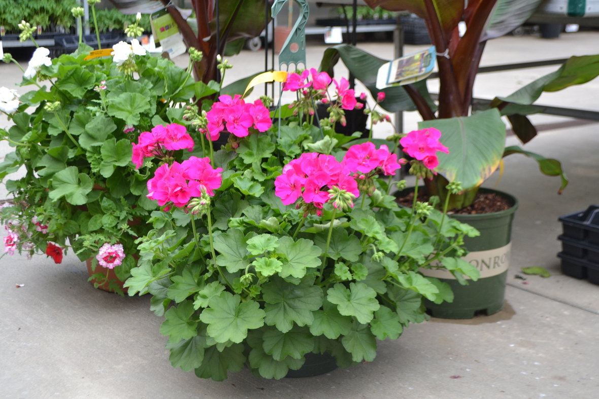 Geranium Calliope Hanging Basket on Floor dn