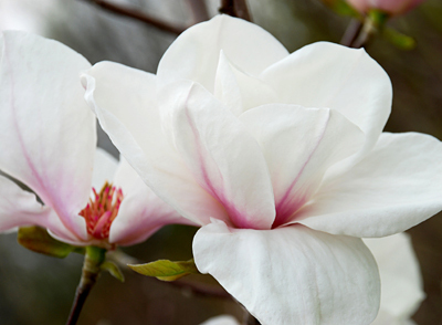 Magnolia Angelica SongSparrowFLOWER