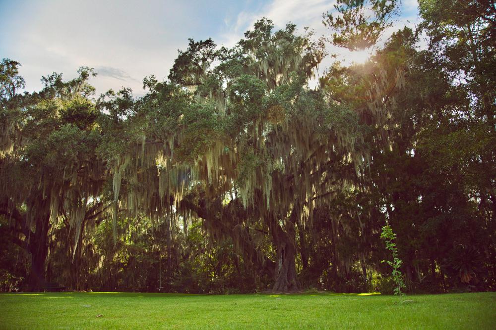 florida oaks grass