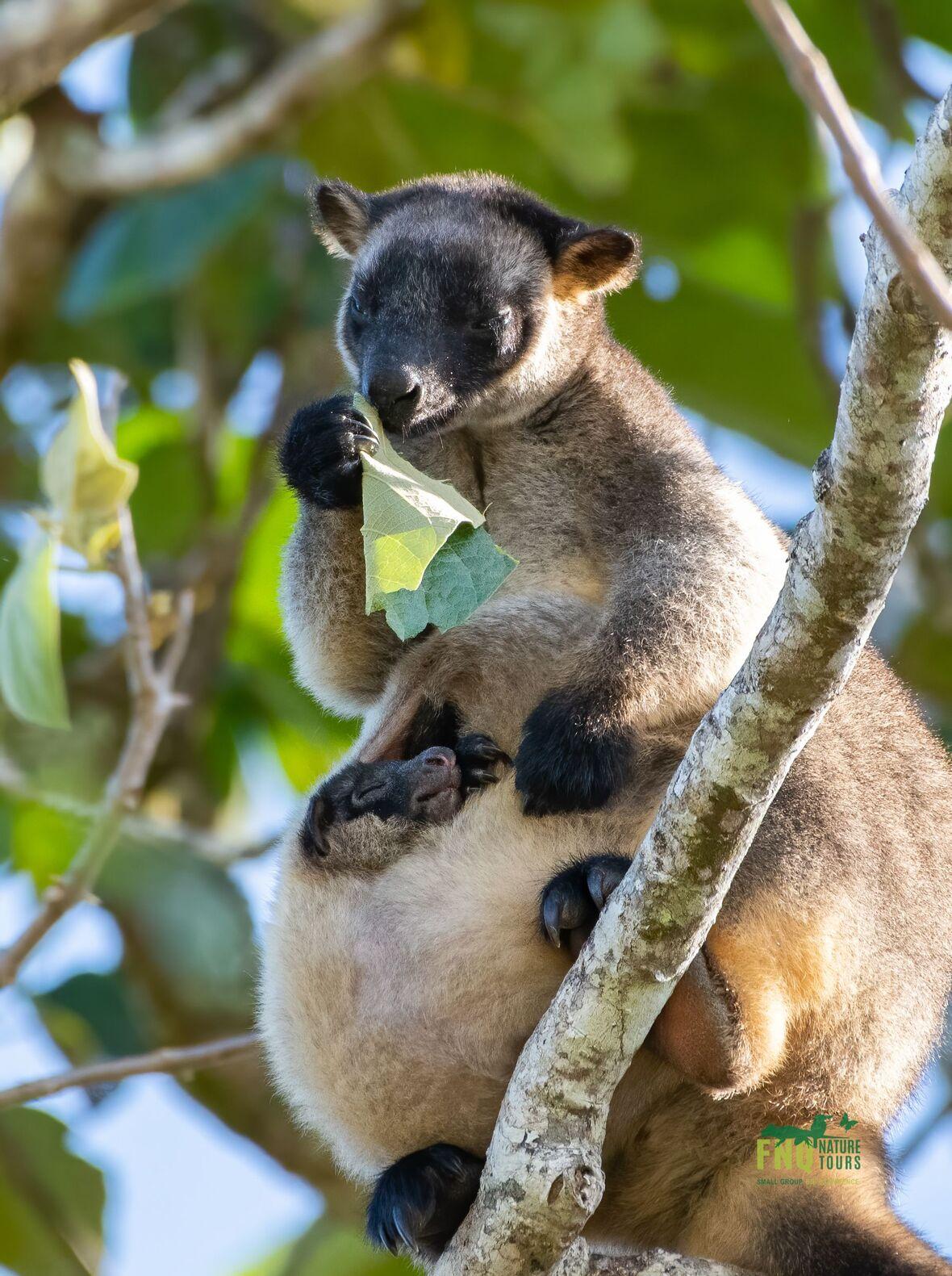 Lumhotlz Tree Kangaroo FNQ