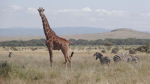 Giraffe Energy Christel Nani