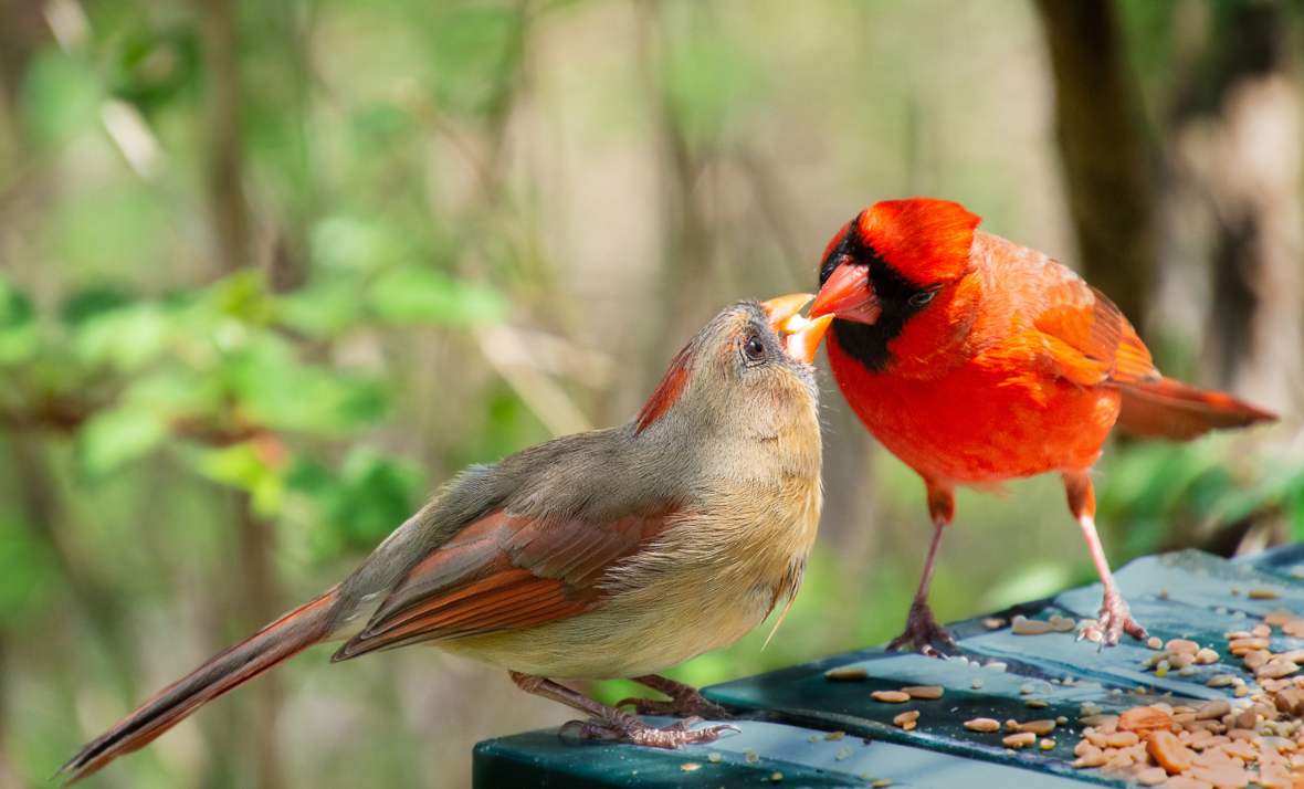 Cardinal male and female