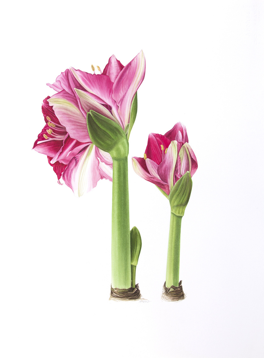 Side by Side hot pink amaryllis