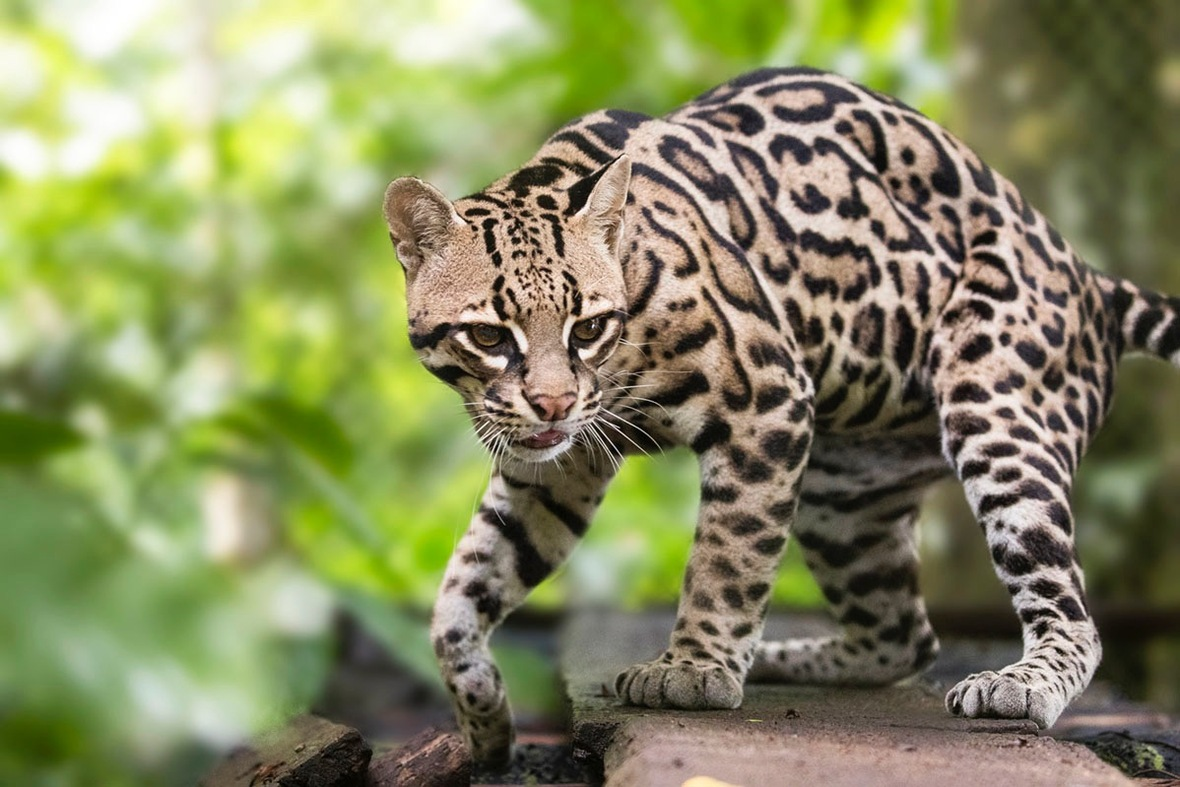 Lola the ocelot is doing well! Photo by Jeff Cable Photography