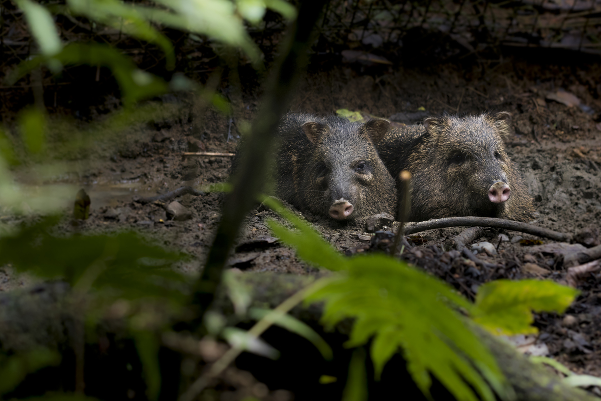The peccaries Leno and Chonchito loving life in their mud. Photograph by Ana Victoria Carrillo