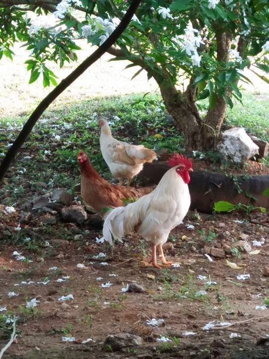 Chicke Half Hens