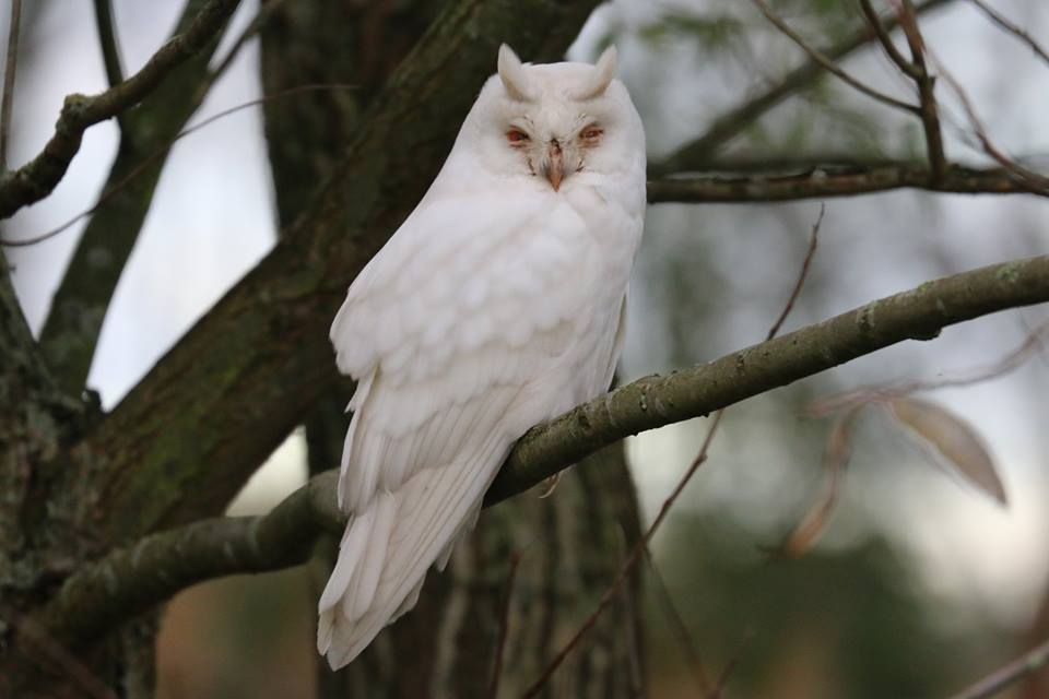 AlbinoLongEaredOwl