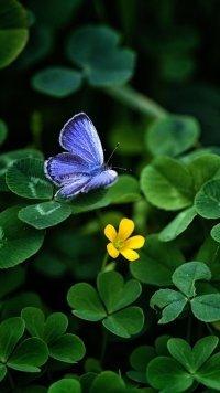 shamrock butterfly