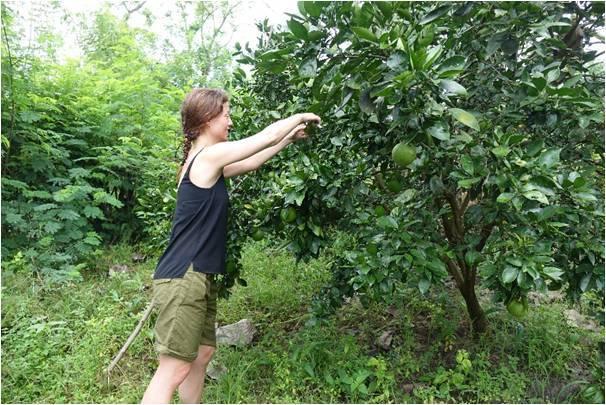 Bryony Dimmer Harvesting Oranges