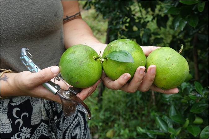 Rachel Rosenbloom Harvesting Oranges
