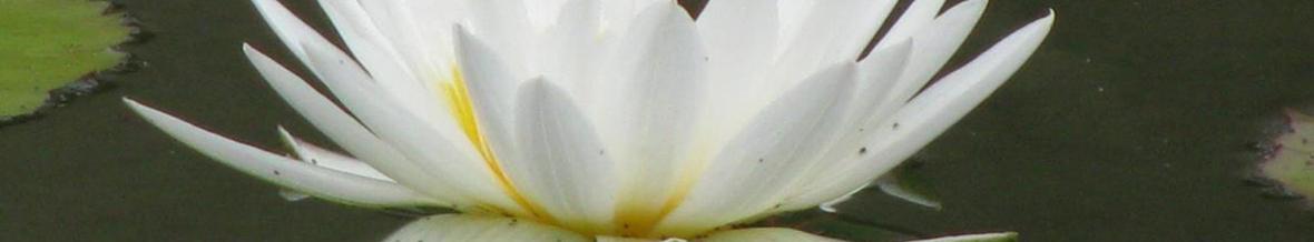 cropped-white-lotus-2