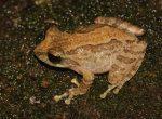 Knuckles-Shrub-Frog-Pseudophilautus-fulvus-150x110