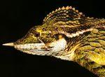 Rare-Horned-Lizards-150x110