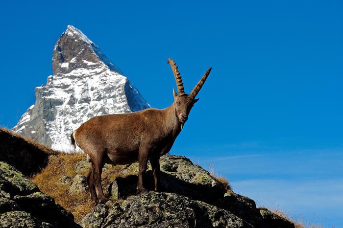 Steinbock front zermatt