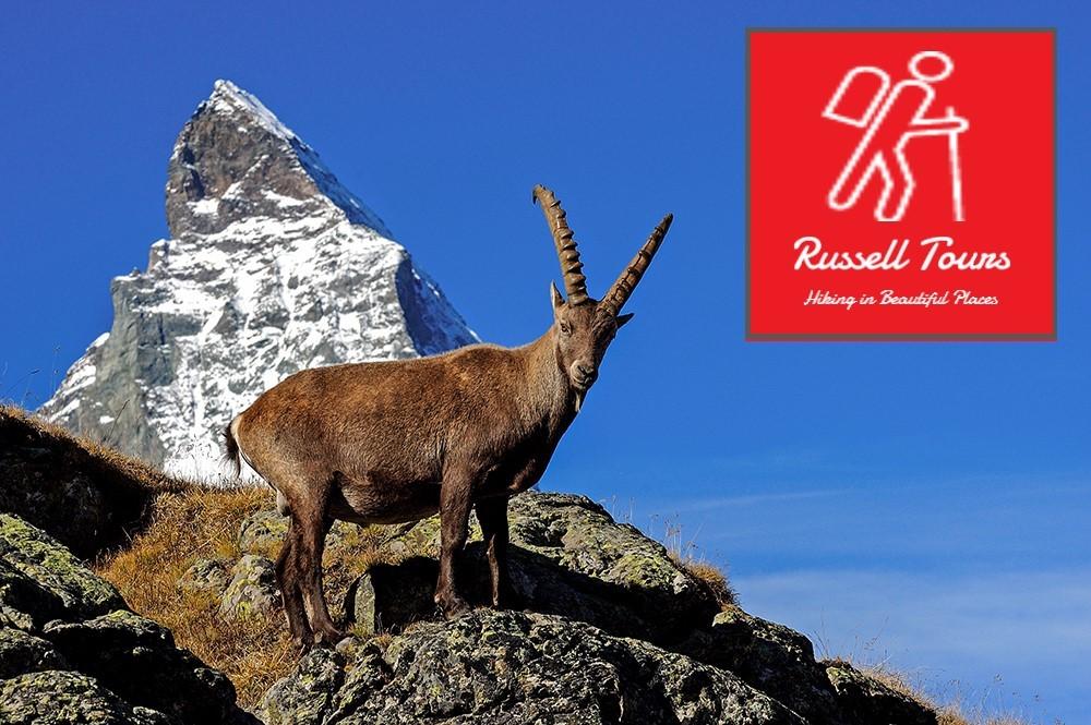 russellheader goat
