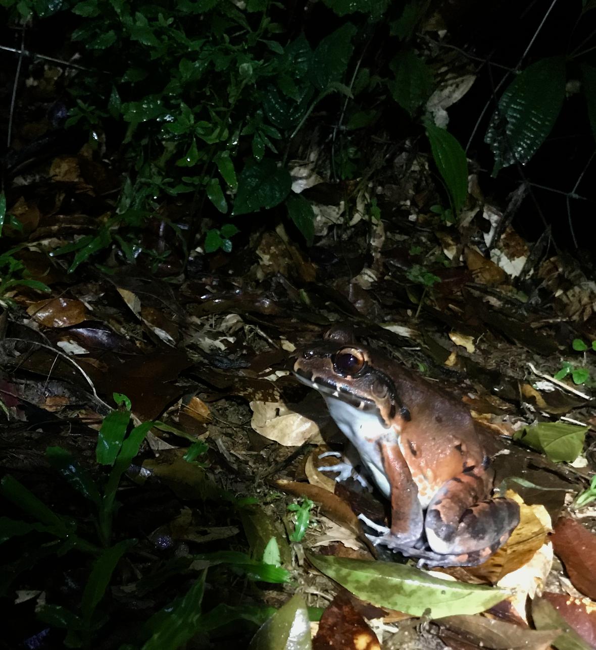 Smoky jungle frog Leptodactylus pentadactylus