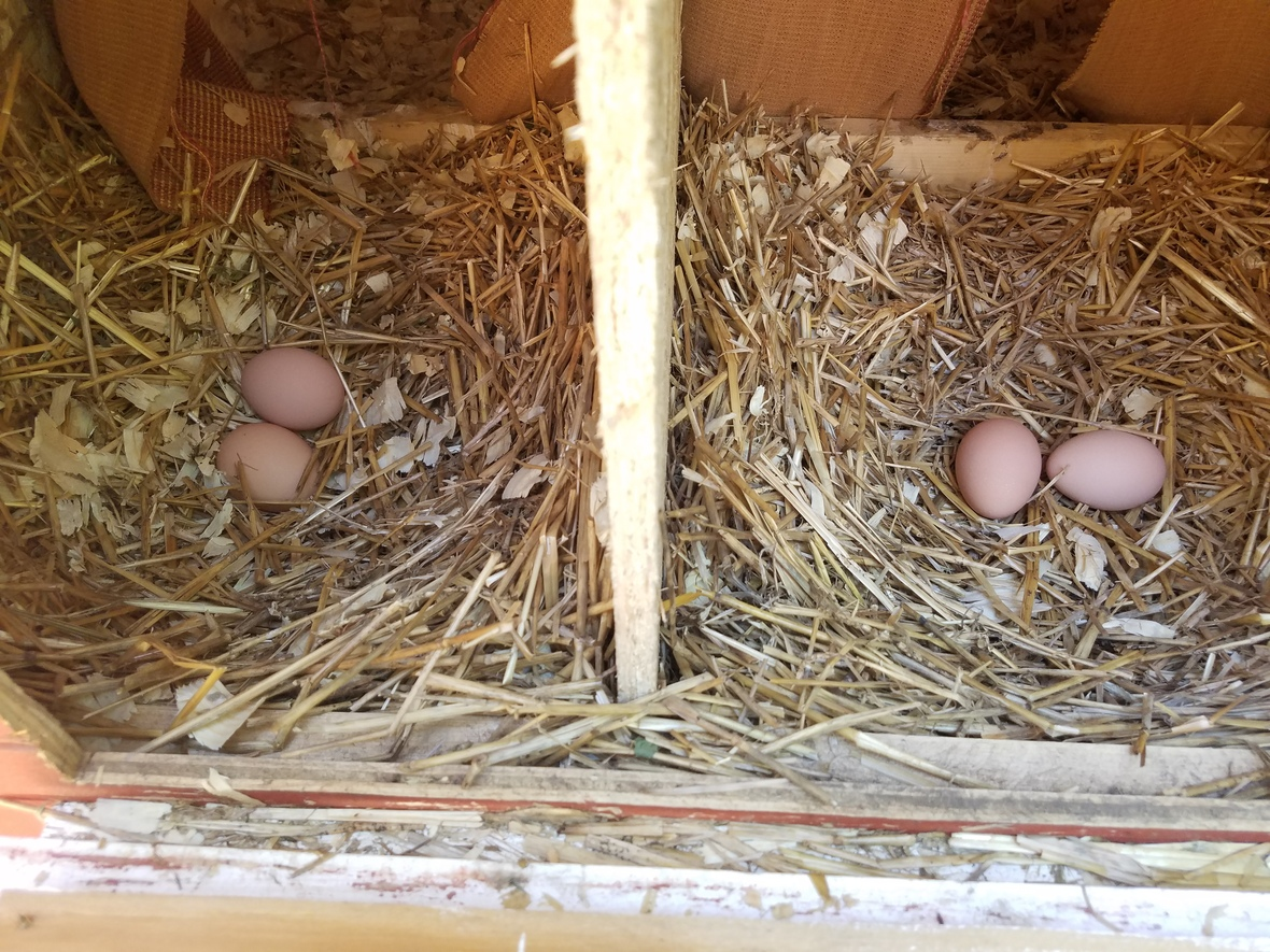 4 hens laying 4 eggs in one day 09.12.18