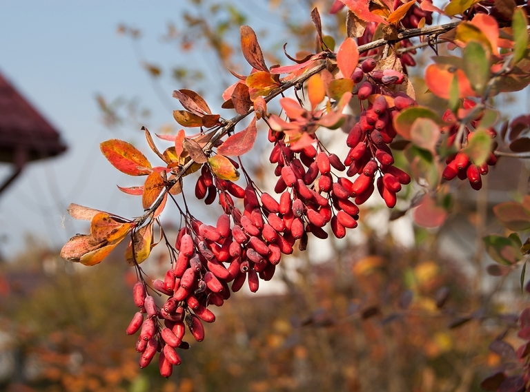 Know your Remedy: Berberis vulgaris   Homeopathy for Nail