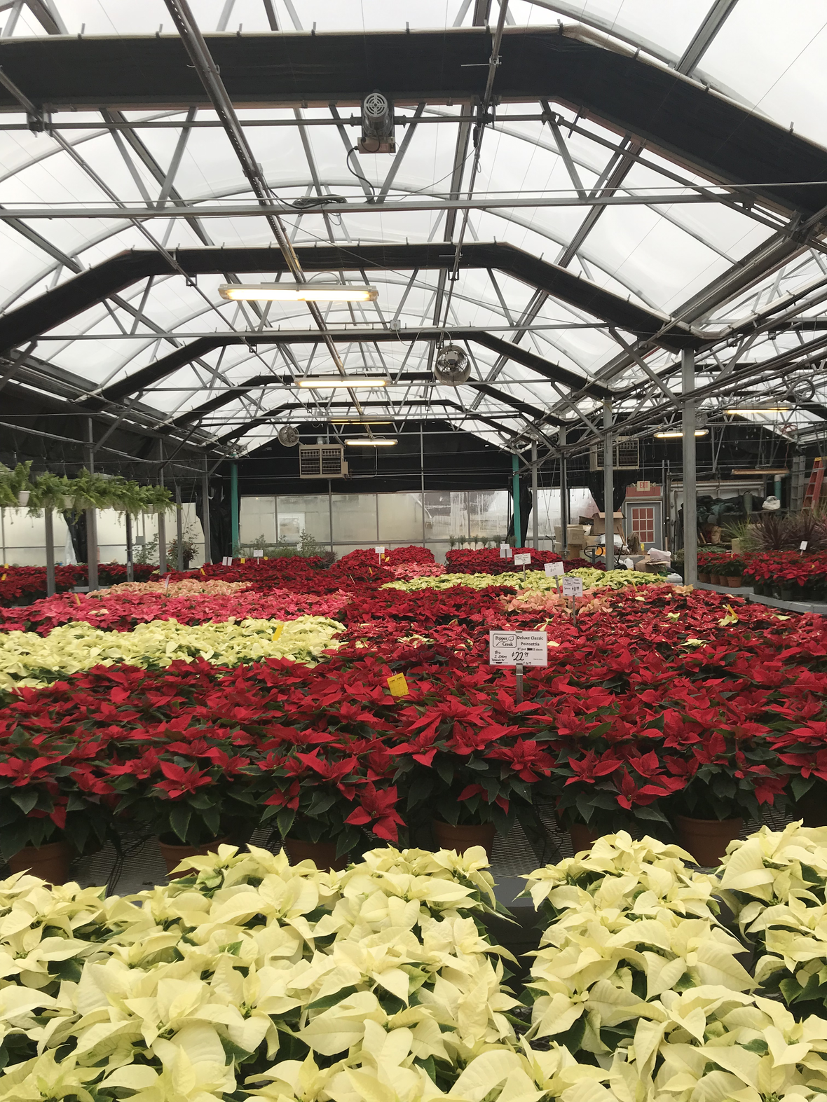 Poinsettias at the green house