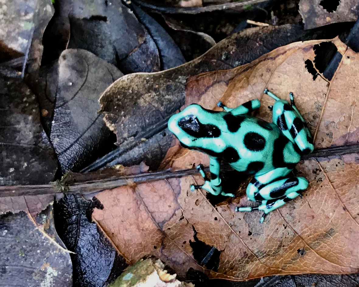 TT Green poison dart frog