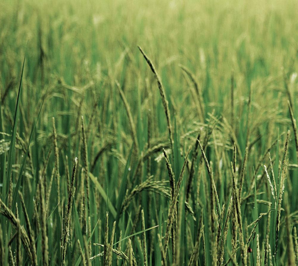 rice-tariff-header-mm