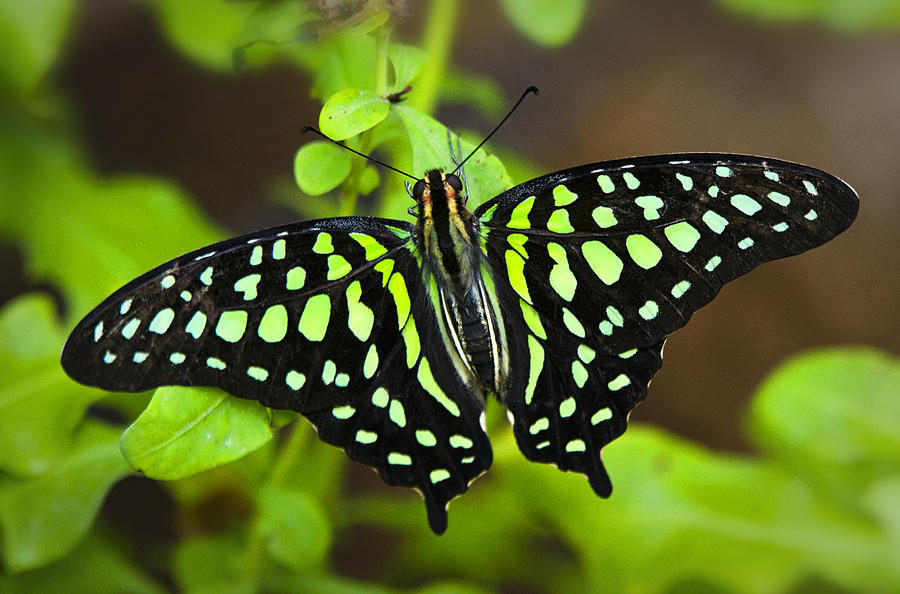 tailed-jay-butterfly-saija-lehtonen