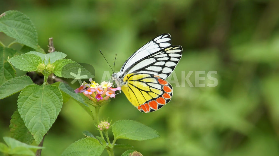 butterfly-sri-lanka-my-gall