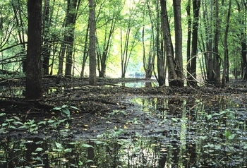 floodplain forest