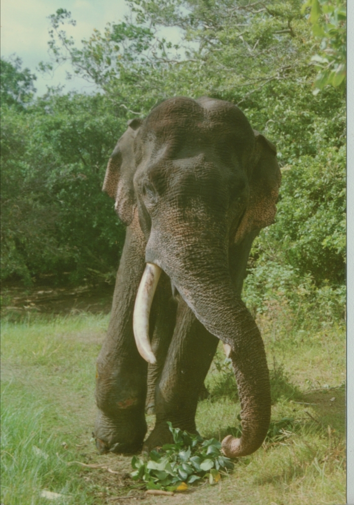 Wounded Tusker