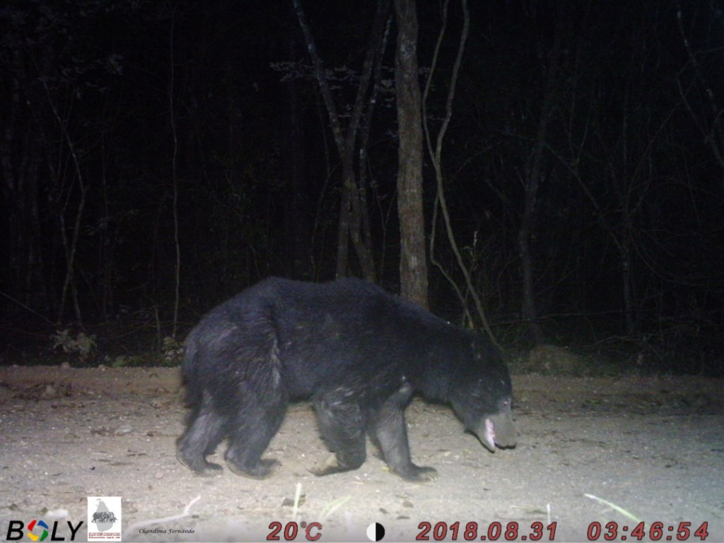 17 Sloth Bear
